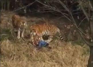 Φρίκη στην Κίνα - Τον κατασπάραξαν τίγρεις μπροστά στην οικογένεια του (ΒΙΝΤΕΟ)