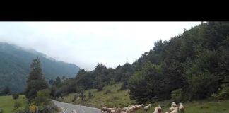 Πόσο επικίνδυνο μπορεί να γίνει ένα πρόβατο;(ΒΙΝΤΕΟ)