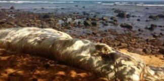Τεράστιο, μαλλιαρό πλάσμα ξεβράστηκε σε ακτή των Φιλιππίνων(ΒΙΝΤΕΟ)