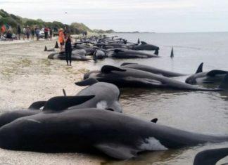 Εκατοντάδες φάλαινες νεκρές σε παραλία στη Νέα Ζηλανδία(BINTEO)