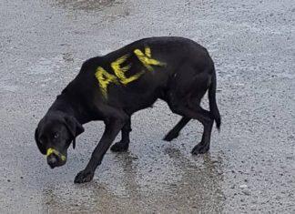 Κακοποίησαν σκυλί βάφοντάς το....ΑΕΚ στη Μεγαλόπολη - Καταδικάζει η ΑΕΚ το περιστατικό(εικόνες)