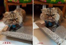 Αποτυχημένα κουρέματα για γάτες